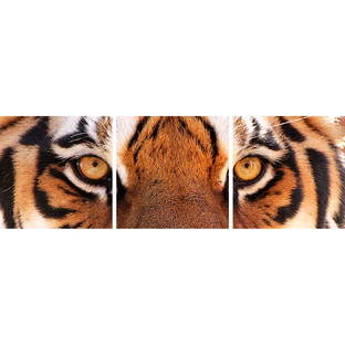 Tiger Eyes Triptych (Set of 3)