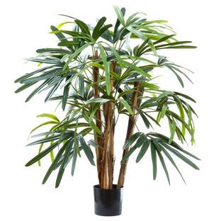 Raphis Palm Tree