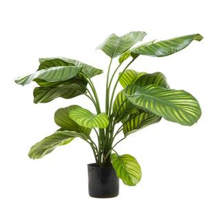 Calathea Fasciata Plant