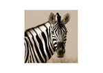Art Illusions Sepia Zebra Face Canvas