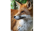Amelia Anderson Mr Fox Printed Wall Art