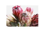 Temple & Webster Protea Canvas Wall Art
