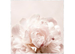 Sunday Homewares Pretty as a Peony Picture Framed Canvas Wall Art