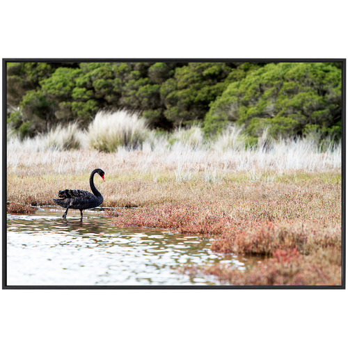 Amelia Anderson Black Swan Printed Wall Art