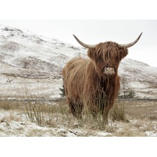 Great Hair Don't Care Cow Canvas Wall Art