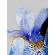 Dutch Blue Iris Canvas Wall Art