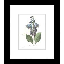Hemerocallis Carulea Framed Print