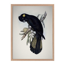 Yellow Tailed Black Cockatoo Framed Printed Wall Art