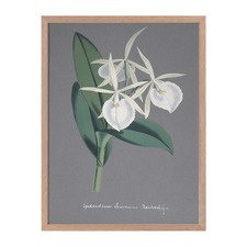 Epidendrum Framed Printed Wall Art