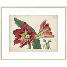 Amaryllis Splendour I Framed Print