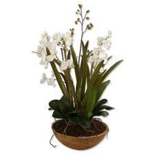 Moth Orchid Botanical