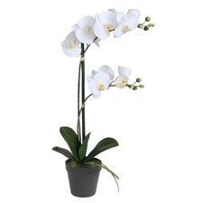 Potted Orchid with Two Stems