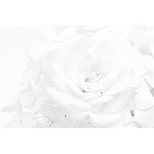 White Rose Art Print on Canvas
