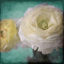 Yellow Ranunculus Art Print on Canvas