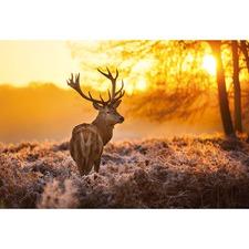 Sunset Deer Returns Canvas