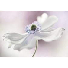 Aneonome Breeze Canvas Wall Art by Mandy Disher