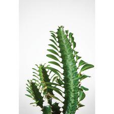 Euphorbia Succulent Canvas