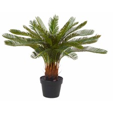 Cycas Pot Plant (Set of 2)