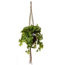 Pothos Como Hanging Pot