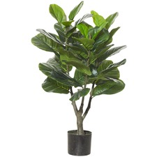 Giant Fiddle Plants (Set of 2)