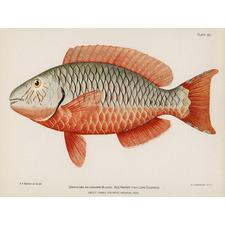 Tropical Queen Parrot Fish 1899 Canvas Wall Art