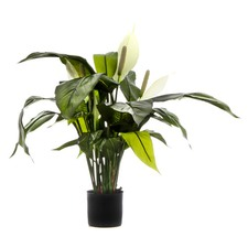 Spathiphyllum Lily