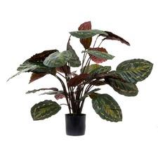 65cm Calathea Roseopicta Plant