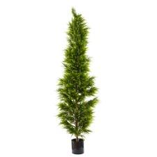 200cm Cypress Pine