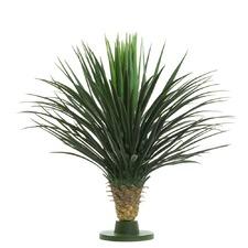 79cm Yucca Rostrata