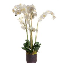 Phalaenopsis Orchid In Paper Pot