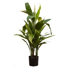 75cm Green & Yellow Artificial Cordyline Plant