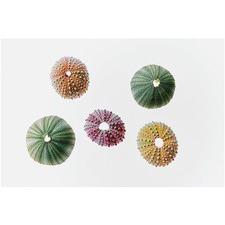 Colorful Sea Urchins Print