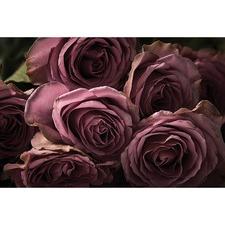 Blush Roses Canvas