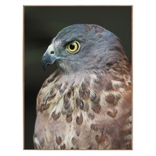 Chocolate-Speckled Hawk Print
