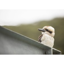 Merry Kooka Photographic Art Print