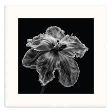 Parrot Tulip Photographic Art Print