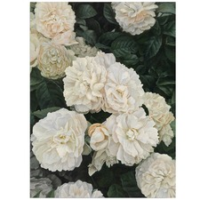 Cream English Roses Printed Wall Art