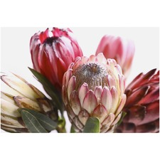 Protea Canvas Wall Art