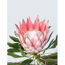 Full King Protea Bloom Unframed Canvas Wall Art