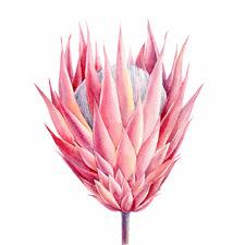 Pink Protea Sketch Canvas Wall Art