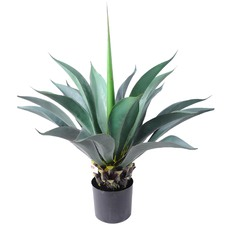 80cm Extra Large Potted Aloe Plant