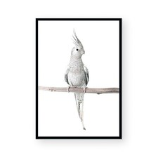 Silver Cockatiel Framed Paper Print