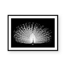 White Peacock Framed Paper Print