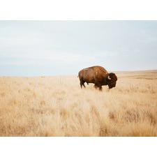 Oh Buffalo Unframed Canvas Wall Art