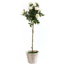 85cm Potted Faux White Rose Bush