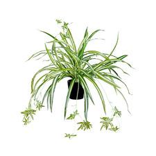 45cm Potted Faux Spider Plant