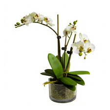 37cm Faux Apple Green Orchid in Glass Pot