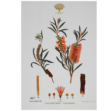 Bottlebrush Royal Botanic Garden Cotton Teatowel