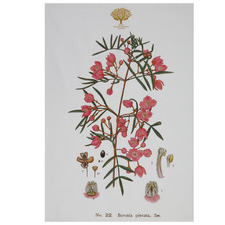 Boronia Royal Botanic Garden Cotton Teatowel