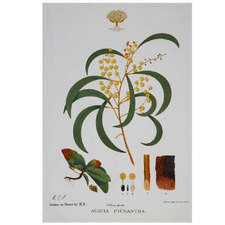 Wattle Royal Botanic Garden Cotton Teatowel